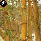 Buy Golden Bamboo Tree Seeds 50pcs Plant Bamboo For Bamboo Garden