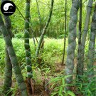 Buy Tortoise Shell Bamboo Tree Seeds 200pcs Plant Bamboo For Bamboo Garden