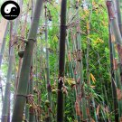 Buy Pear Bamboo Tree Seeds 120pcs Plant Melocanna Baccifera For Bamboo Garden