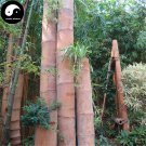Buy Huge Dragon Bamboo Tree Seeds 50pcs Plant Bamboo Tree For Bamboo Garden