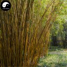 Buy Silk Bamboo Tree Seeds 30pcs Plant Bambusa Multiplex For Qin Si Bamboo