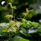 Buy Boston Ivy Tree Seeds 200pcs Plant Vine Tree Parthenocarpy