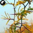 Buy Thistles And Thorns Tree Seeds 100pcs Plant Vine Tree Fence Thorns Jing Ji