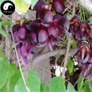 Buy Evergreen Mucuna Stem Tree Seeds 5pcs Plant Vine Tree Mucuna You Ma Teng