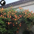 Buy Trumpet Creeper Tree Seeds 120pcs Plant Campsis Grandiflora Ling Xiao Flower