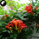 Buy Trumpet Creeper Tree Seeds 60pcs Plant Campsis Grandiflora Ling Xiao Flower