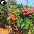 Buy Hawthorn Fruit Tree Seeds 240pcs Plant Hawthorn Berry May Tree For Shan Za