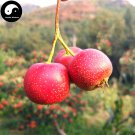 Buy Hawthorn Fruit Tree Seeds 60pcs Plant Hawthorn Berry May Tree For Shan Za