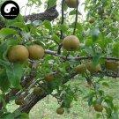 Buy Yamanashi Fruit Tree Seeds 200pcs Plant Sorb Pear For Chinese Pyrus Shan Li