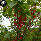 Buy Cherry Fruit Tree Seeds 60pcs Plant Cerasus Pseudocerasus For Cherries