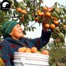 Buy Persimmon Fruit Tree Seeds 120pcs Plant Diospyros Kaki For Chinese Fruit Shi