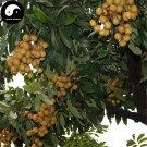Buy Longan Fruit Tree Seeds 30pcs Plant Longan For Chinese Fruit Longan