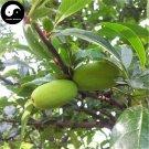 Buy Chaenomeles Speciosa Fruit Tree Seeds 30pcs Plant Floweringquince For Mu Gua