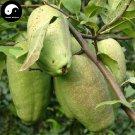 Buy Chaenomeles Speciosa Fruit Tree Seeds 120pcs Plant Floweringquince For Mu Gua