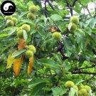 Buy Castanea Mollissima Tree Seeds 120g Plant Chestnut For Ginseng Fruit Nut
