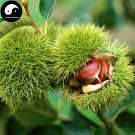 Buy Castanea Mollissima Tree Seeds 30g Plant Chestnut For Ginseng Fruit Nut