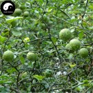 Buy Bitter Orange Tree Seeds 120pcs Plant Citrus Aurantium For Aurantii Zhi Qiao
