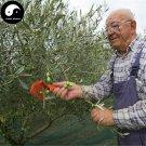 Buy Olea Europaea Tree Seeds 24pcs Plant Olives Tree For Olivaris Fruit Gan Lan