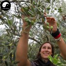 Buy Olea Europaea Tree Seeds 12pcs Plant Olives Tree For Olivaris Fruit Gan Lan