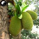 Buy Jackfruit Tree Seeds 6pcs Plant Pineapple Tree For Sweet Fruit Jackfruit