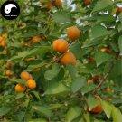 Buy Apricot Fruit Tree Seeds 100pcs Plant Armeniaca Vulgaris For Chinese Xing