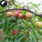 Buy Green Plum Fruit Seeds 50pcs Plant Prunus Salicina For Chinese Fruit Li