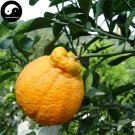 Buy Ugly Orange Fruit Seeds 60pcs Plant Citrus Tree For Fruit Sweet Orange