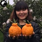 Buy Ugly Orange Fruit Seeds 240pcs Plant Citrus Tree For Fruit Sweet Orange
