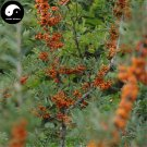 Buy Seabuckthorn Fruit Seeds 400pcs Plant Buckthorn Berry For Fruit Sha Ji