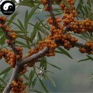 Buy Seabuckthorn Fruit Seeds 100pcs Plant Buckthorn Berry For Fruit Sha Ji