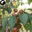 Buy Bean Pear Fruit Tree Seeds 60pcs Plant Callery Pear For Wild Fruit Pyrus