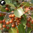 Buy Bean Pear Fruit Tree Seeds 120pcs Plant Callery Pear For Wild Fruit Pyrus