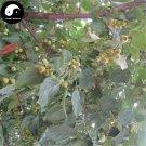 Buy Begonia Fruit Tree Seed 240pcs Plant Strigose Hydrangea For Wild Fruit Malus