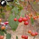 Buy Begonia Fruit Tree Seed 120pcs Plant Strigose Hydrangea For Wild Fruit Malus