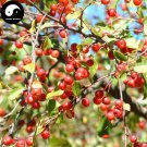 Buy Malus Fruit Tree Seeds 240pcs Plant Malus Baccata For Wild Fruit Malus