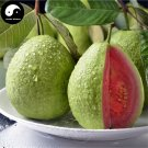 Buy Guava Fruit Tree Seeds 240pcs Plant Red Psidium Guajava For Fruit Fan Shi Li
