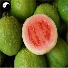 Buy Guava Fruit Tree Seeds 120pcs Plant Red Psidium Guajava For Fruit Fan Shi Li