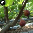 Buy Ficus Carica Fruit Tree Seeds 60pcs Plant Fruit Figs For Fruit Ficus Carica