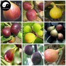 Buy Ficus Carica Fruit Tree Seeds 240pcs Plant Fruit Figs For Fruit Ficus Carica