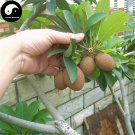 Buy Rare Sapodilla Fruit Tree Seeds 30pcs Plant Heart Fruit For Manilkara Zapota