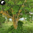 Buy Baccaurea Ramiflora Fruit Tree Seeds 120pcs Plant Baccaurea Ramiflora Tree