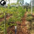 Buy Moringa Tree Seeds 80pcs Plant Moringa Oleifera Tree For Drumstick Lamu