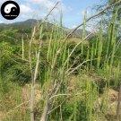 Buy Moringa Tree Seeds 160pcs Plant Moringa Oleifera Tree For Drumstick Lamu