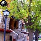 Buy Ginkgo Biloba Tree Seeds 120pcs Plant Ginkgo Yin Xing Tree For Herb Bai Guo