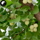 Buy Ginkgo Biloba Tree Seeds 60pcs Plant Ginkgo Yin Xing Tree For Herb Bai Guo