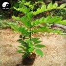 Buy Rare Scented Rosewood Tree Seeds 80pcs Plant Dalbergia Odorifera Huang Tan