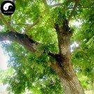 Buy Rare Scented Rosewood Tree Seeds 160pcs Plant Dalbergia Odorifera Huang Tan