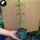 Buy Rare Phoebe Zhennan Tree Seeds 60pcs Plant Phoebe Zhennan Tree Nan Mu