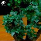 Buy Lobular Red Sandalwood Tree Seeds 25pcs Plant Pterocarpus Santalinus Zi Tan