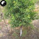 Buy Sandalwood Tree Seeds 40pcs Plant Santalum Album Rare Sanders Tan Xiang